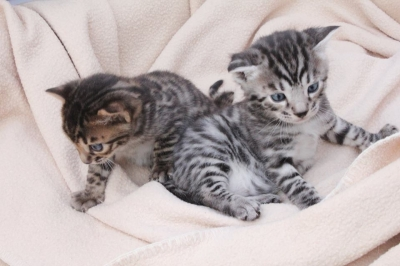 Chatons Bengal A Donner Vendre Com