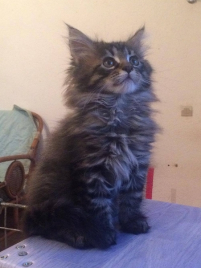 Chaton maine coon non lof a donner